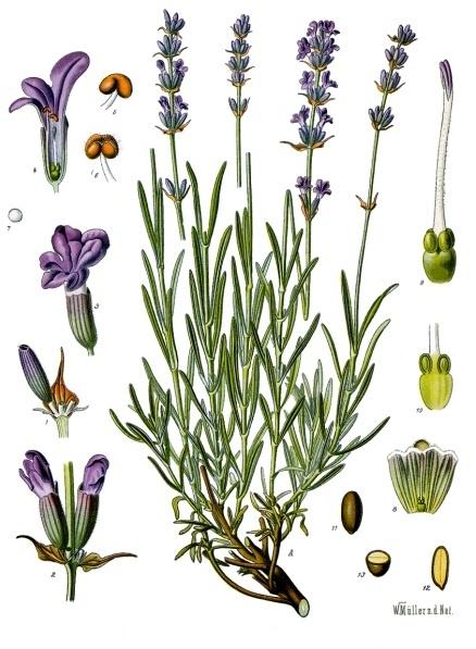 imagen: Fr.wikipedia.org      Franz Eugen Köhler, Köhlers Medizinal-Pflanzen