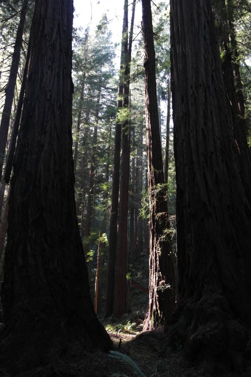 Sequoias - Muir Woods, Mill Valley, CA     foto: Virginia Blanco