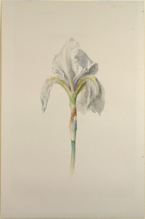 imagen: Ruskin.ashmolean.orgartista: John Ruskin,  Iris Fiorentina, 1871