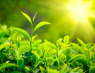 Té verde foto: Lipo-xr.info