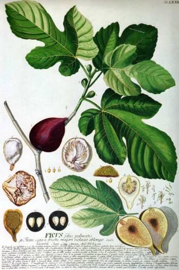 ilustración: Picturingplants.com ilustrador: Georg Donysius Ehret