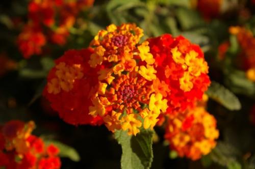 foto: Zorruno.blogspot.com.ar  Lantana Camara o Banderita Española.