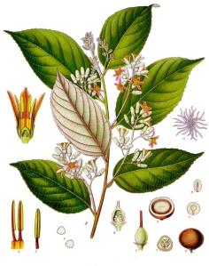 Styrax Benzoína.    Imagen: Wikipedia.org