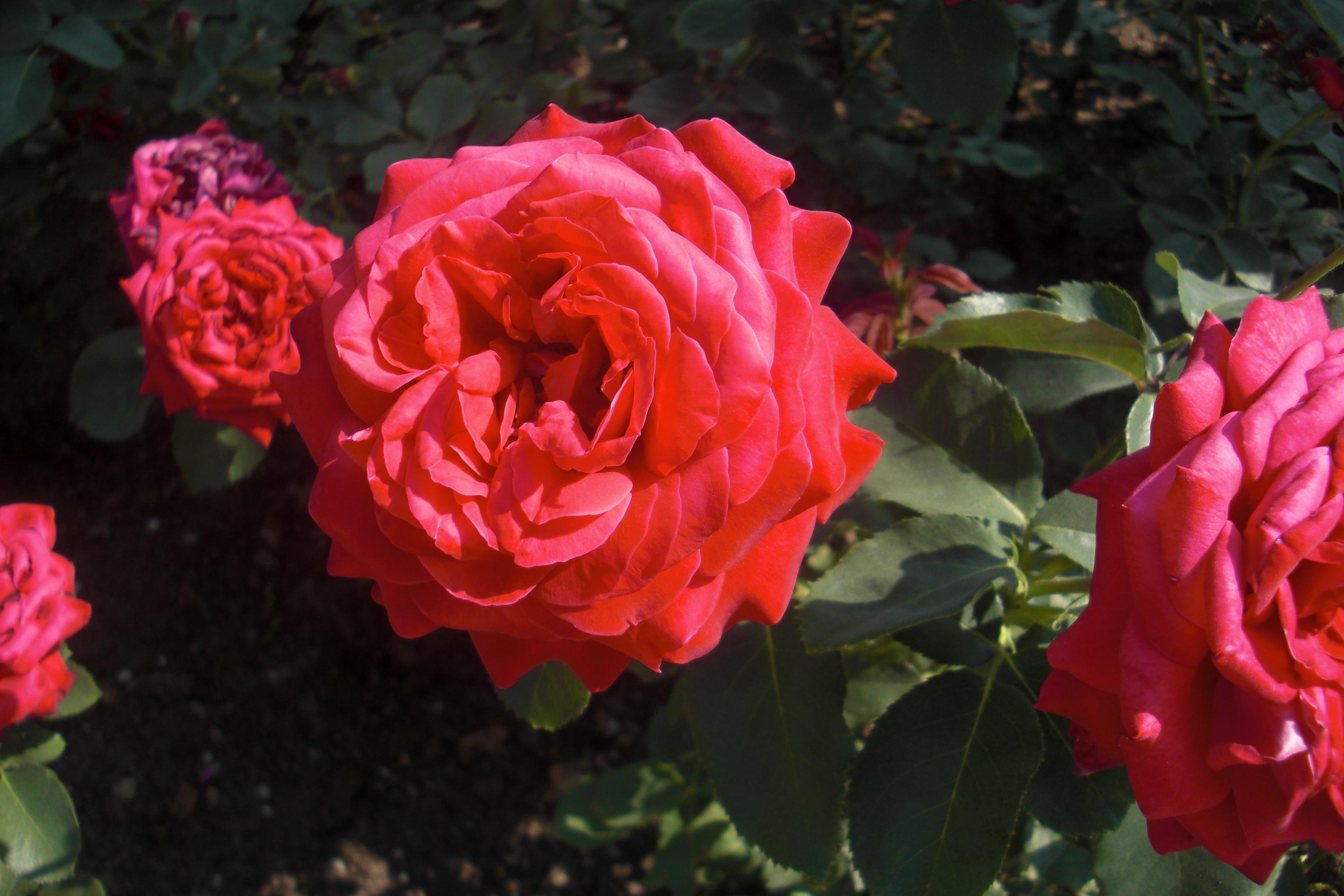 Las rosas son rojas y amarillas y rosadas t de violetas - Jardines con rosas ...