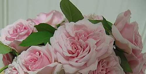 """foto: Thecultureconcept.com  Rosa """"Souvenir de la Malmaison"""""""