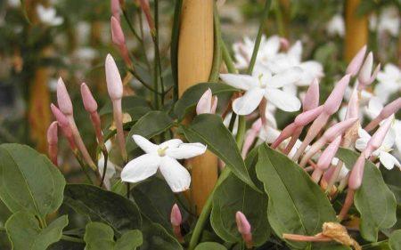 foto: Florespedia.com  Jazmines