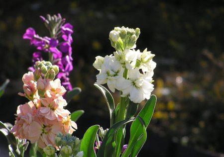 foto: Florespedia.com  Alhelíes