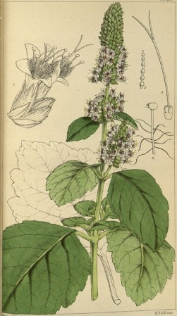 "imagen: Payer.de  ""Hooker's journal of Botany and Kew Garden Miscellany"", 1849"