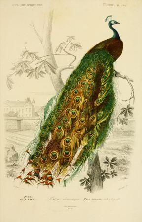 imagen: Af.dessins.free.fr  Diccionario Nniversal de Historia Natural