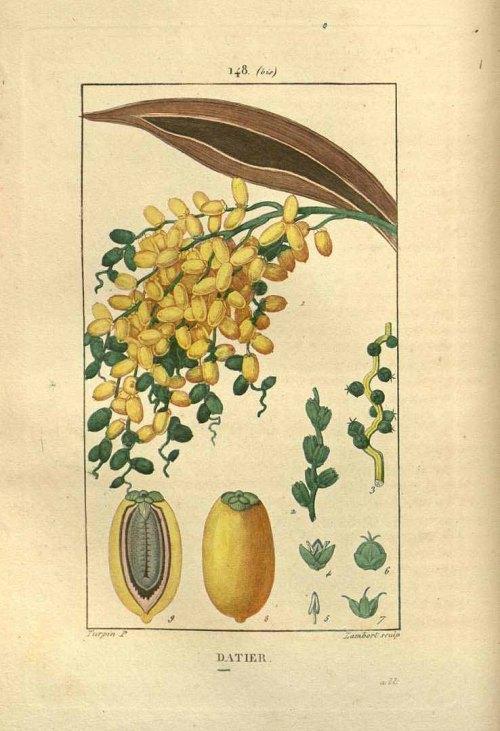 imagen: Plantillustrations.org autor: Pierre Jean Francois Turpin  en Flore Mèdicale, de Francois-Pierre Chaumeton (1830)