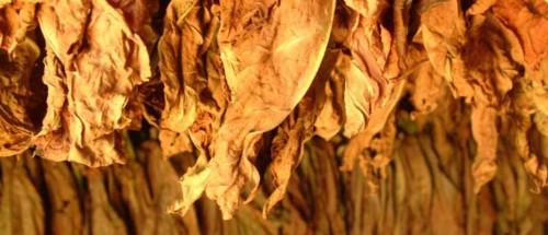 hojas-de-tabaco